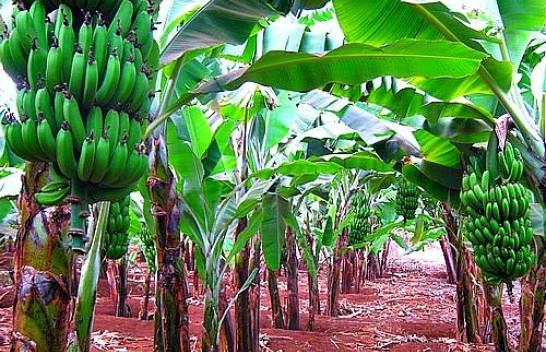 Ndryshimet klimatike ''sëmurin'' edhe bananen