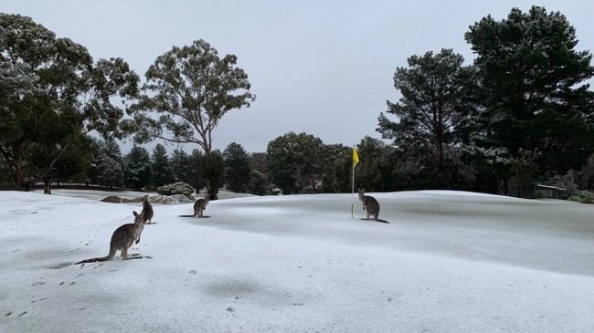 E rrallë në Australi, kangurët i gëzohen borës