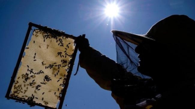 Shkencëtarët rus të alarmuar me vdekjen masive të bletëve për shkak të pesticideve