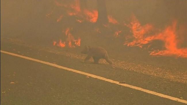 Australi, një grua rrezikon jetën për të shpëtuar koalan e djegur nga zjarri