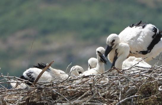 Pesë zogj lejleku të çelur në folenë e famshme të Gjirokastrës
