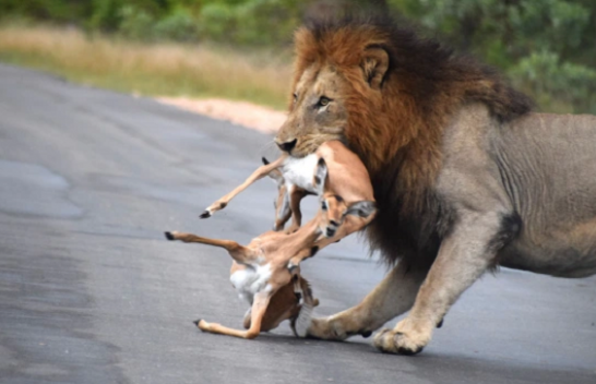 Momentet dramatike, luani me fat kërkon të hajë shtatë impala njëherësh [Foto]
