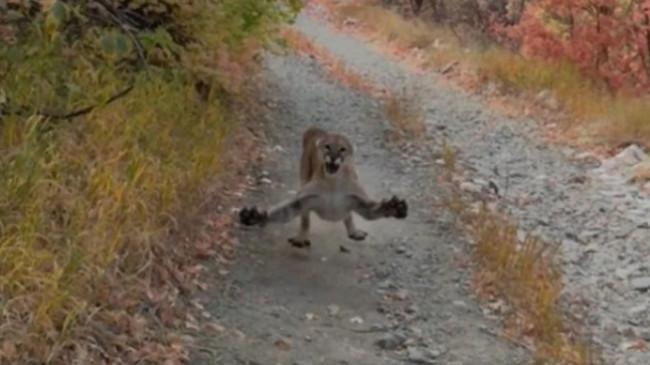 Momente tmerri/ Po filmonte këlyshët e saj, i riu sulmohet nga Puma [Video]