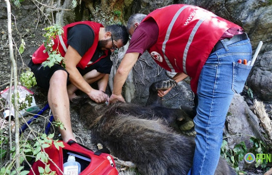 Prej më shumë se tri ditësh i zënë në kurth, shpëtohet ariu i murrmë në Kukës