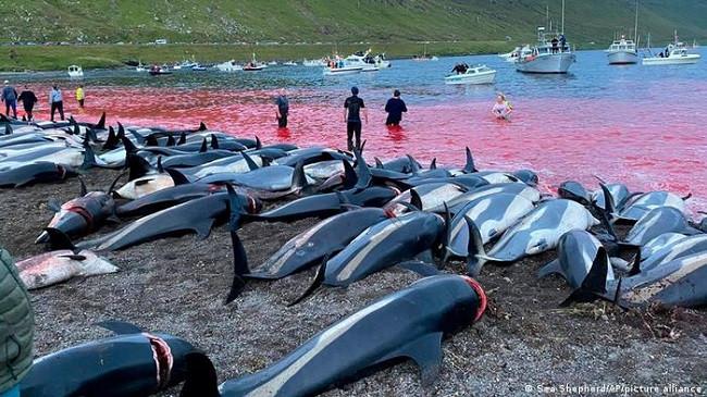 """E tmerrshme: Vriten afër 1.500 balena dhe delfinë në """"festivalin"""" në Ishujt Faroe"""
